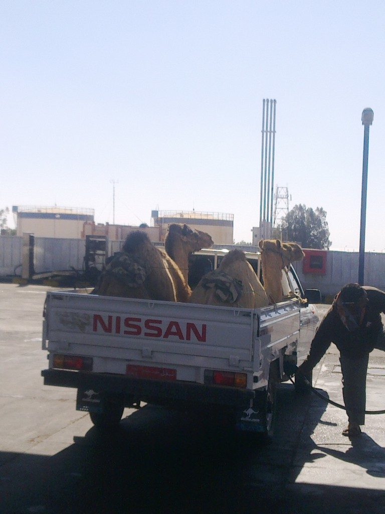 Is the camel the truck of the desert? These two aren't sure!